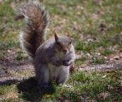 Scoiattolo curioso a Battery Park, New York.