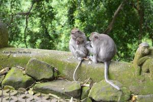 Scimmie indaffarate alla Monkey Forest di Ubud.